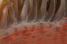 Heteractis magnifica