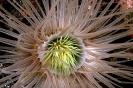 Cerianthus filiformis