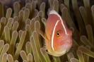 anemonfish_2