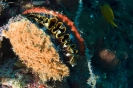 Spondylus sp.