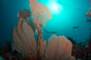 Ellisella ceratophyta