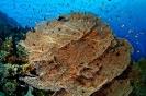 Annella mollis (Gorgonian coral)