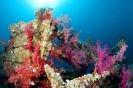soft coral_3