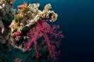 soft corals_1
