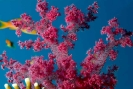 Corals and Gorgonia