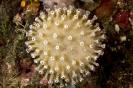 Sarcophyton glaucum