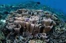 Stony Corals_17