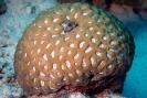 Stony Corals_44