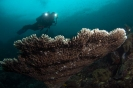 stony corals_4