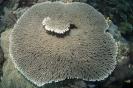 stony corals_5