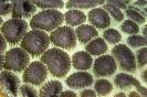 stony corals_8