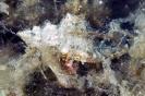 Dardanus calidus