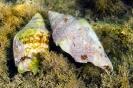 Conus mediterraneus