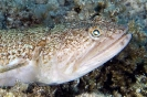 Lizardfishes & Clingfishes