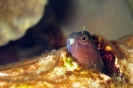 Blenny (to be identified)