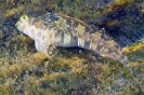 Aidablennius sphynx