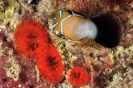 Plagiotremus rhinorhynchos