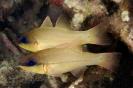 Apogon chrysophomus