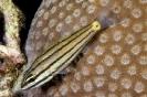 Cheilodipterus quincuelineatus