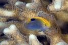 Pomacentrus philippinus
