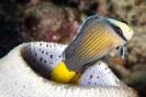 Pseudochromis splendens