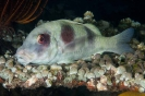 Parupeneus trifasciatus