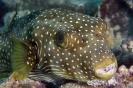 Pufferfishes & Boxfishes