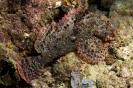 Scorpionfishes & Stonefishes