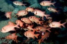 Squirrelfishes & Soldierfishes