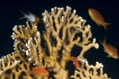 Millepora alcicornis (Branching fire coral)