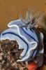 Chromodoris wilani