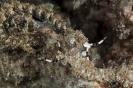 Pteraeolidia ianthina