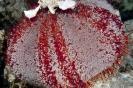Tripneustes gratilla (Cake sea urchin)