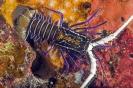 Palinurus versicolor
