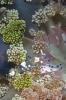 Periclimenes brevicarpalis