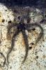 Ophiothrix fragilis