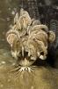 Comanthina nobilis