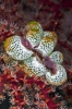 Tunicates (Sea Squirts)