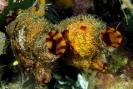 Microcosmus sulcatus