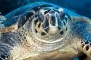 Eretmochelys imbricata (Hawksbill turtle)