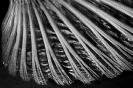 PectorL fin of a Lichia amia