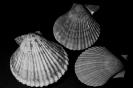 Chlamys nobilis